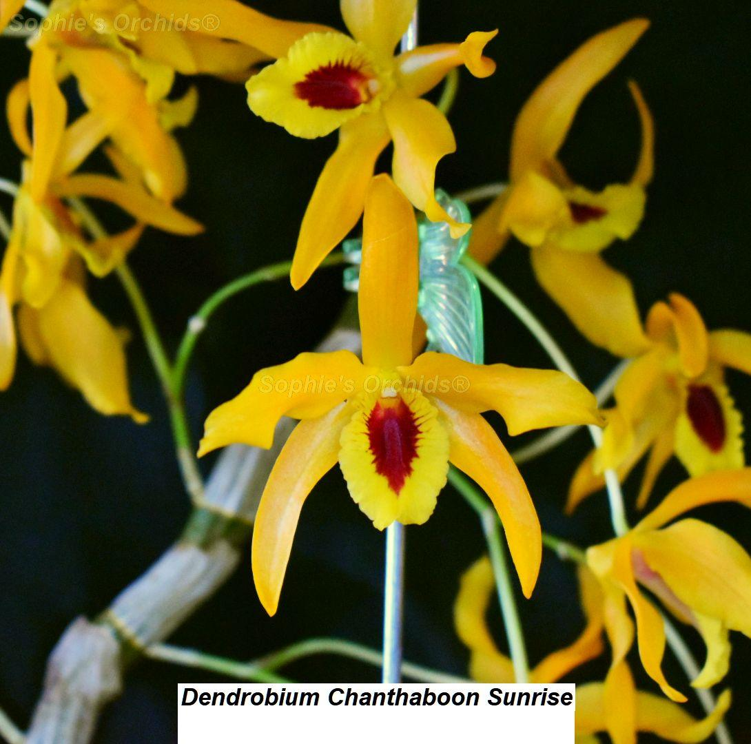 MQ27 Dendrobium Chanthaboon Sunrise 3 1/4'' Pot T553