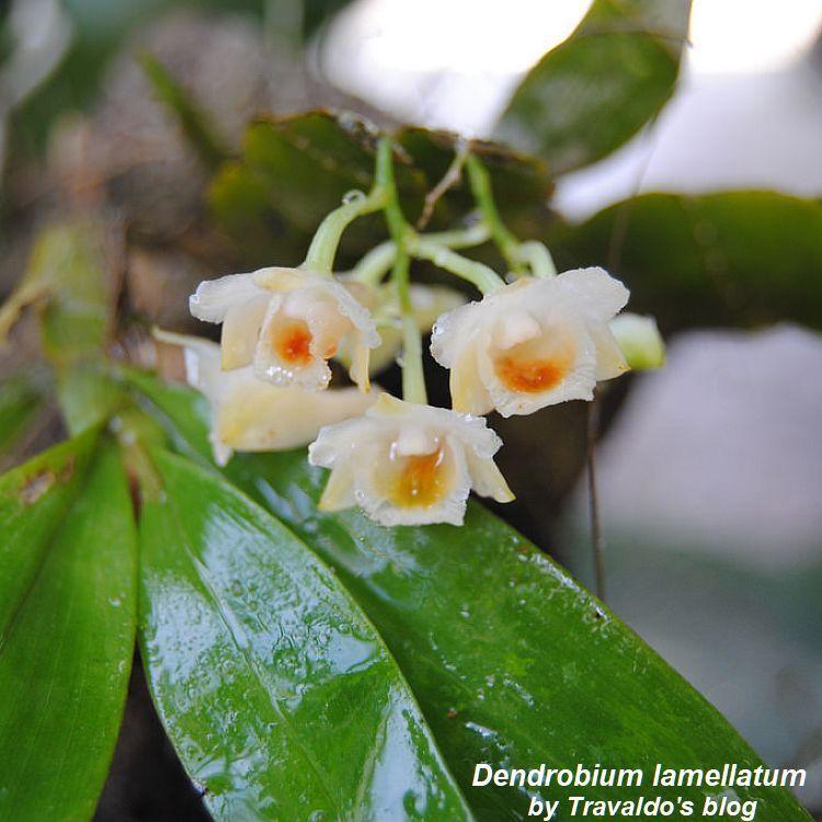 Dendrobium lamellatum Bare Root T561