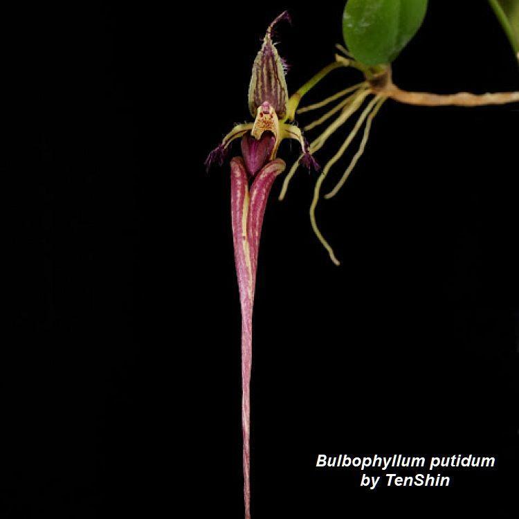 Bulbophyllum putidum Bare Root P96