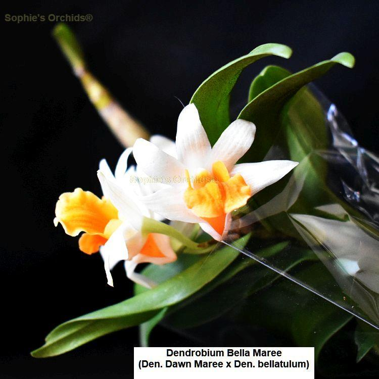 Dendrobium Bella Maree Bare Root T546
