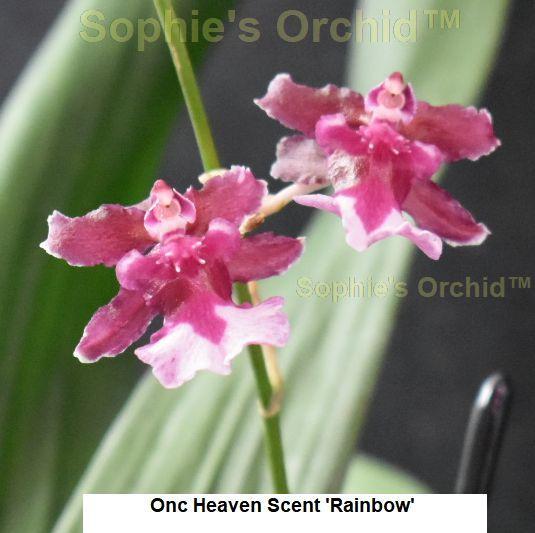P640 Onc Heaven Scent 'Rainbow' 3 1/4 Pot frag T161