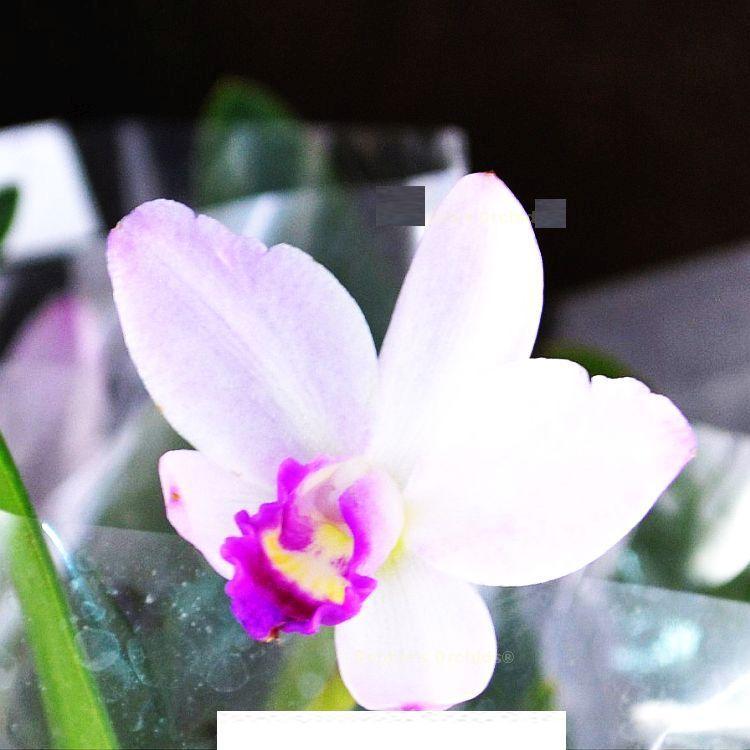 Cattlianthe Japanese Beauty 'Sakura' Bare Root S899
