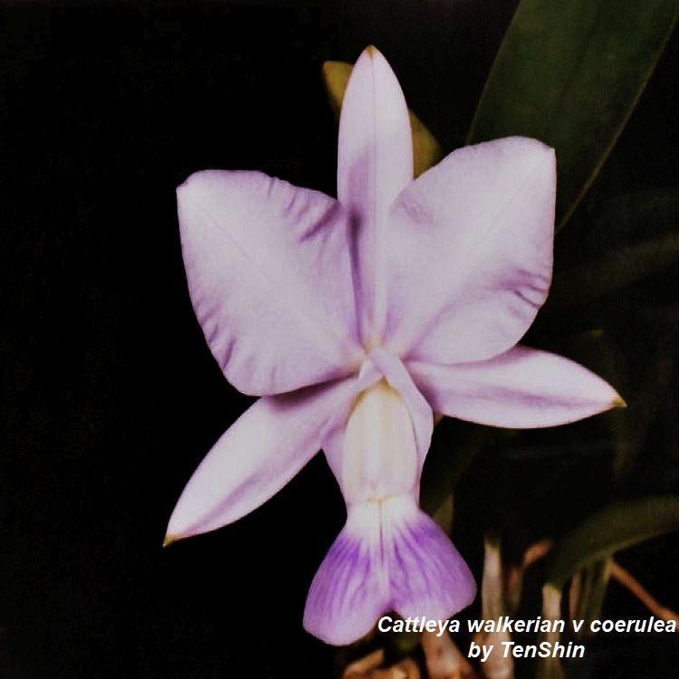 Cattleya walkeriana f. coerulea Bare Root T265