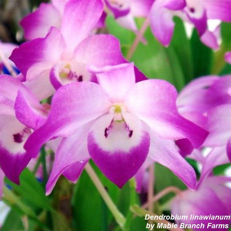 MQ40 Dendrobium linawianum Bare Root T251