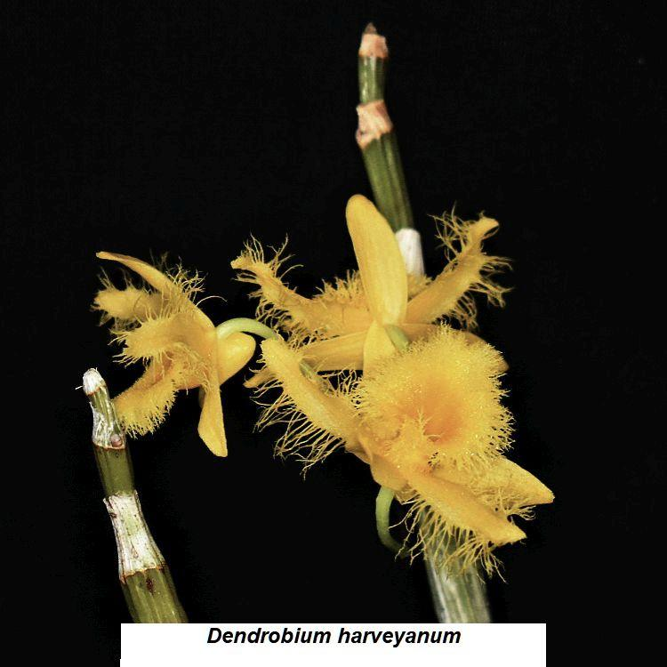 Dendrobium harveyanum Bare Root T331
