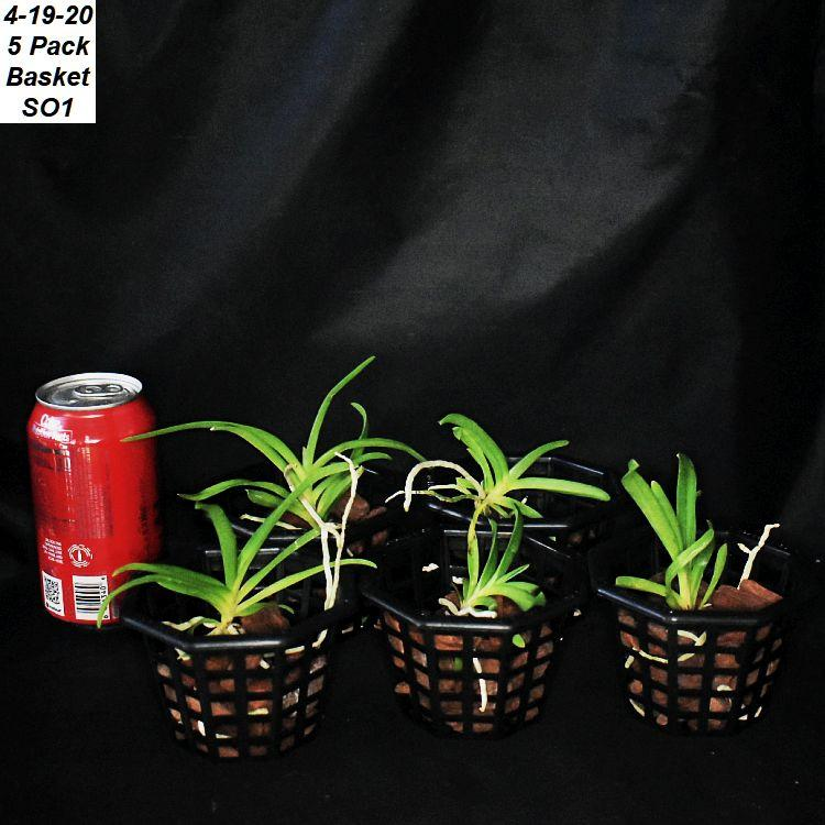 5 Varieties of Vanda of Seedlings by Sophie's Orchids