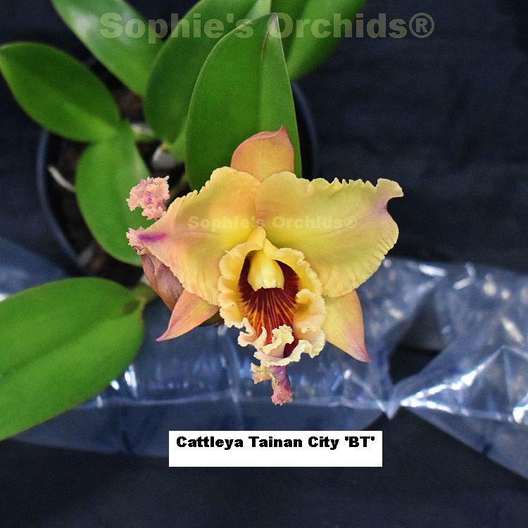 P1180 Cattleya Tainan City 'BT' 5'' Pot T429