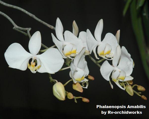 KA6063 Phalaenopsis amabilis x self 3 1/4'' Pot T488